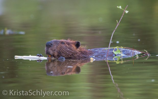 North American beaver (Castor canadensis) on the Anacostia River, Washington DC metro region. USA. July 2014. Cropped